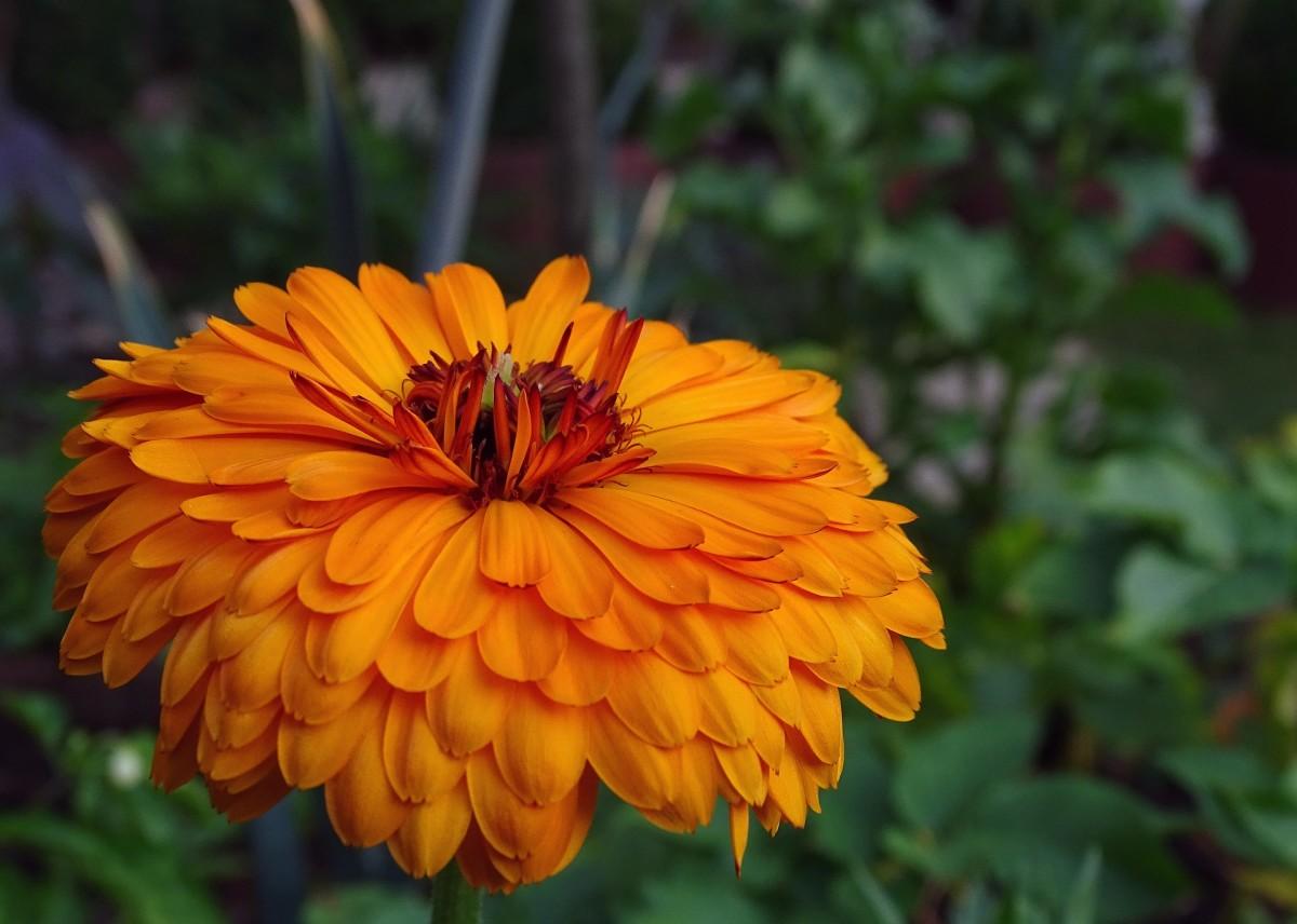 Marigold|Gendaa