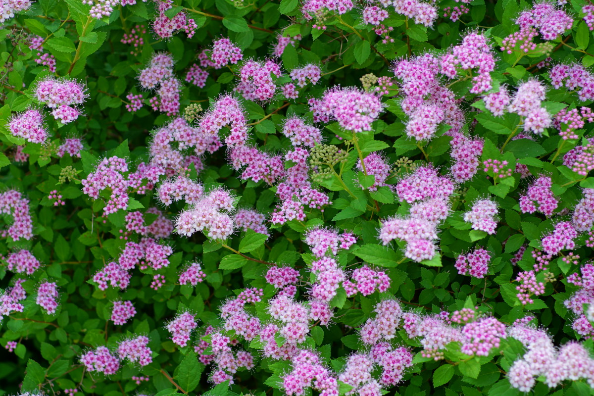 'Little Princess' Spirea Shrub