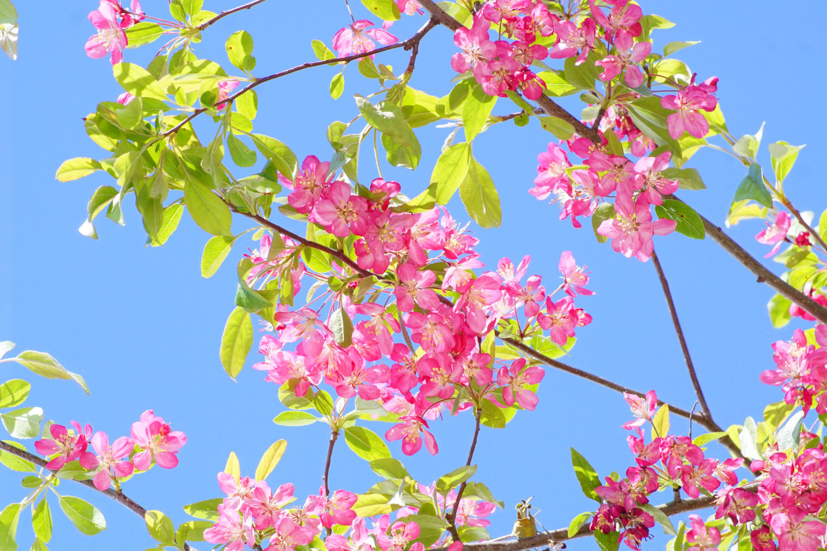 Ornamental Crabapple Flowering Branches