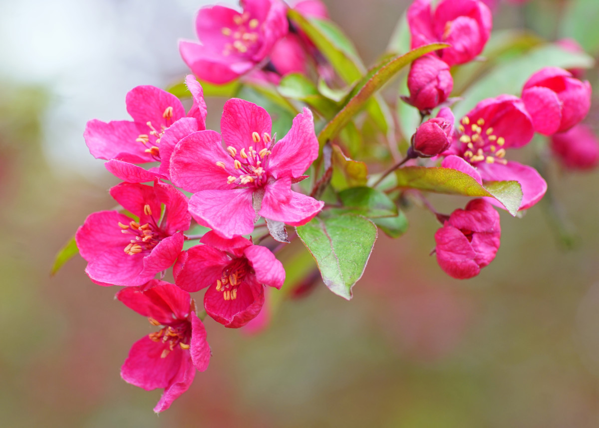 Ornamental Crabapple Tree Flower