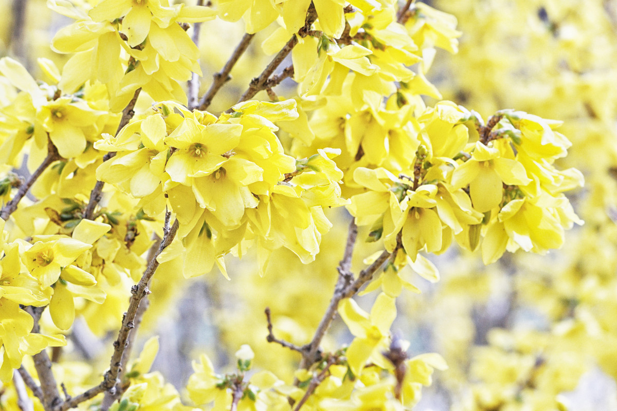 Forsythia Shrub Flowering Branch