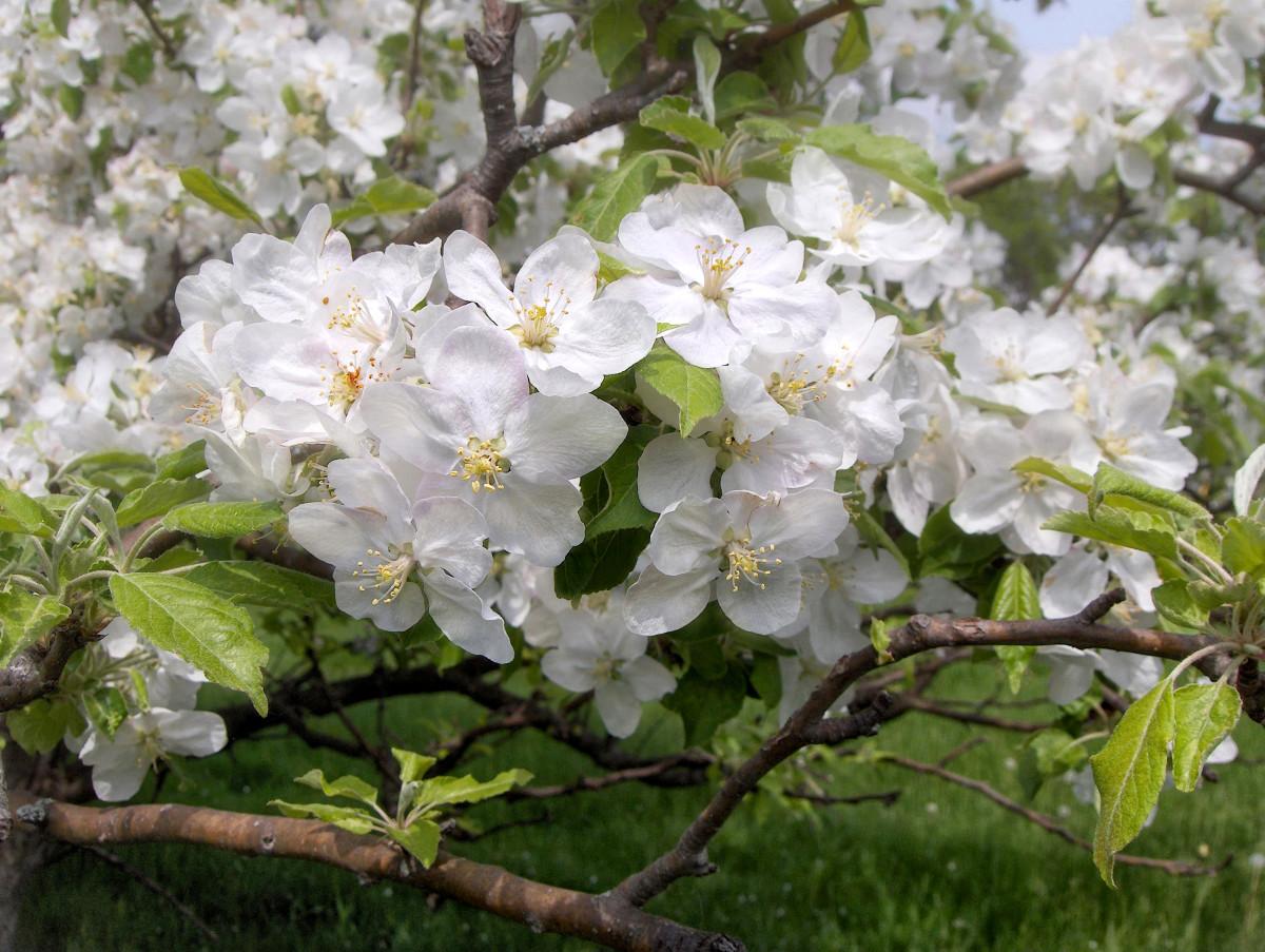 Apple Tree Flowering Branch