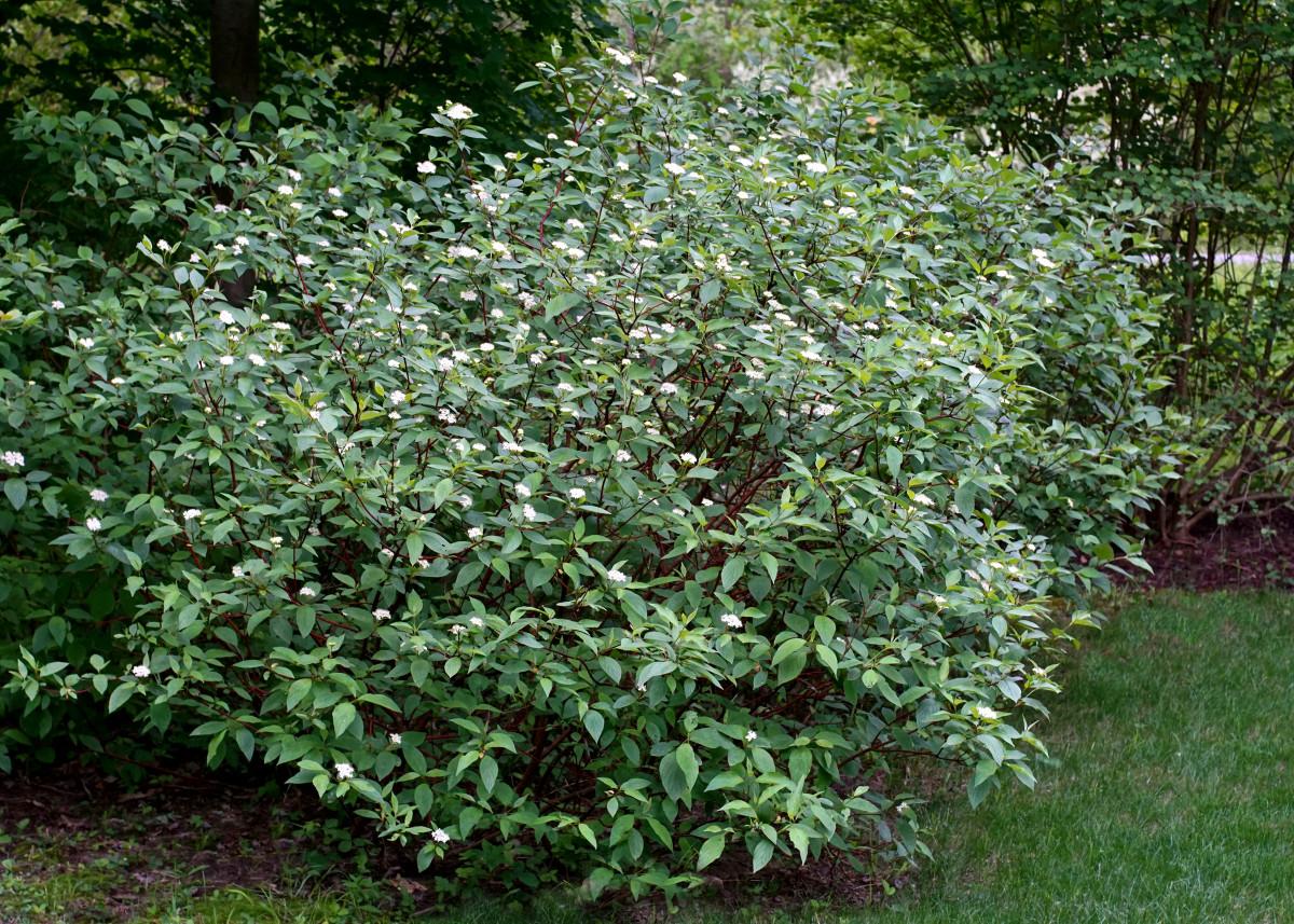 Red Twig Dogwood Shrub