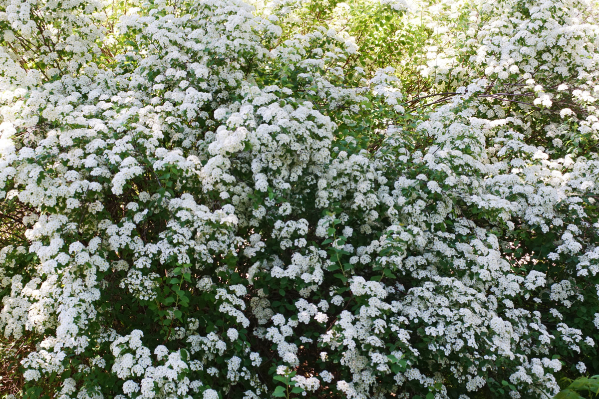 'Reeves Bridal' Spirea Shrub