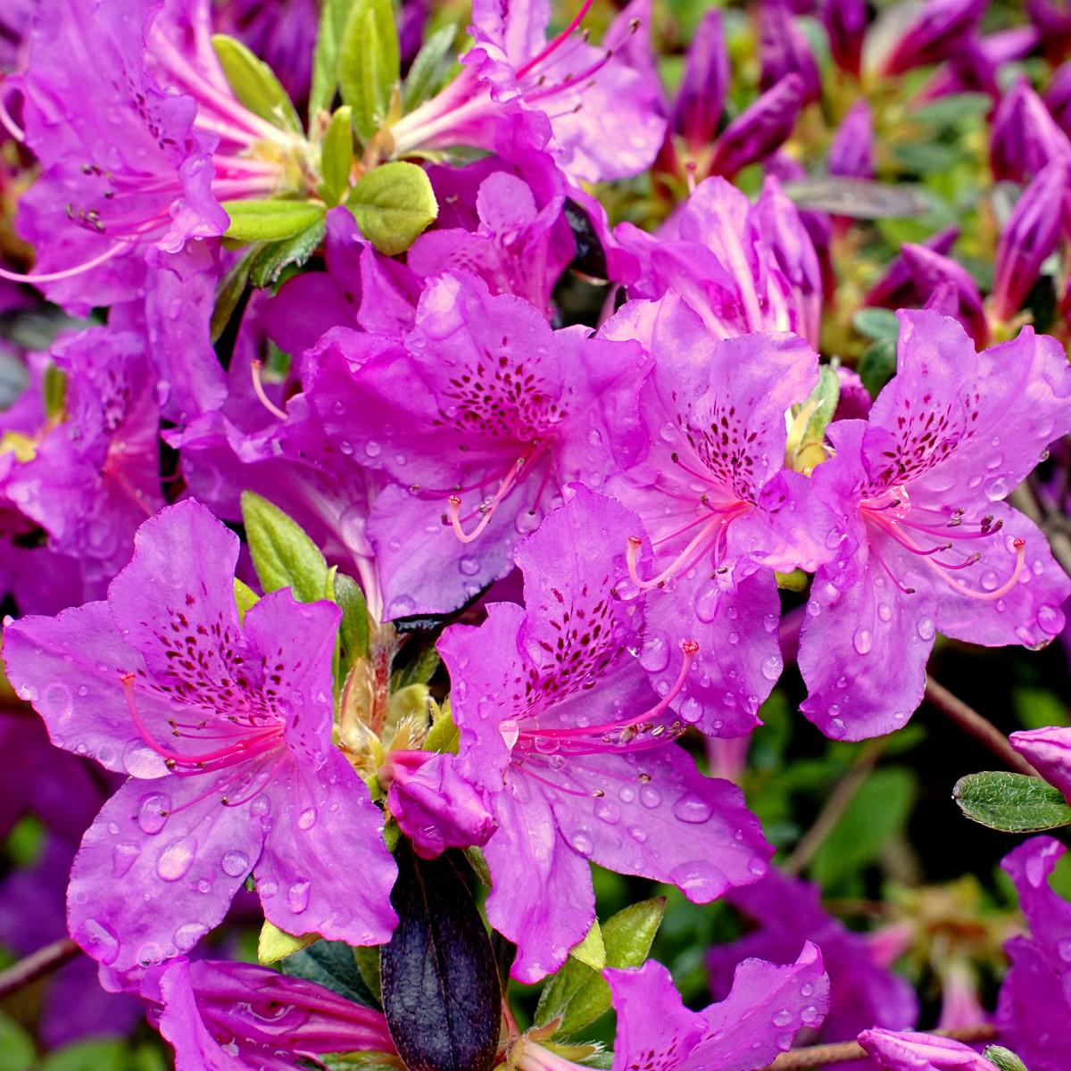 Azalea Shrub Flowers