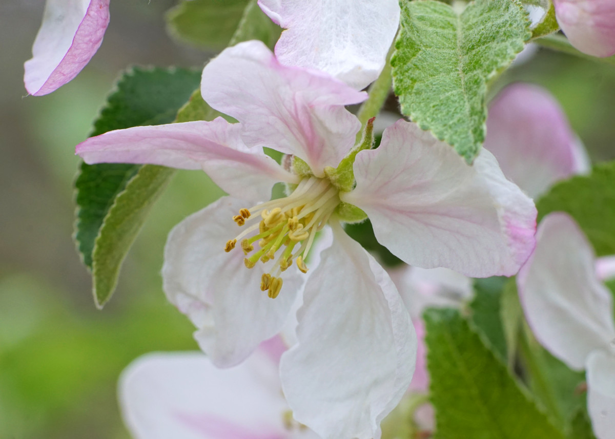 Apple Tree Blossoms