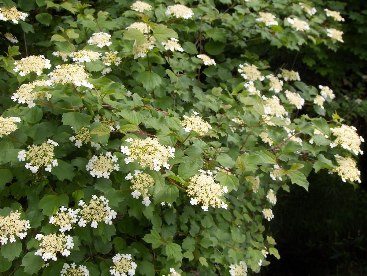 'Viburnum' American Cranberry Branches