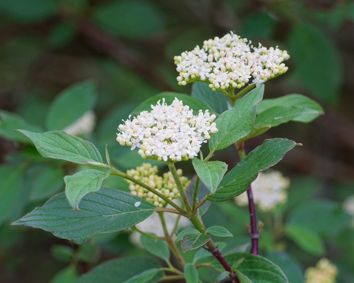 Red Twig Dogwood Flower