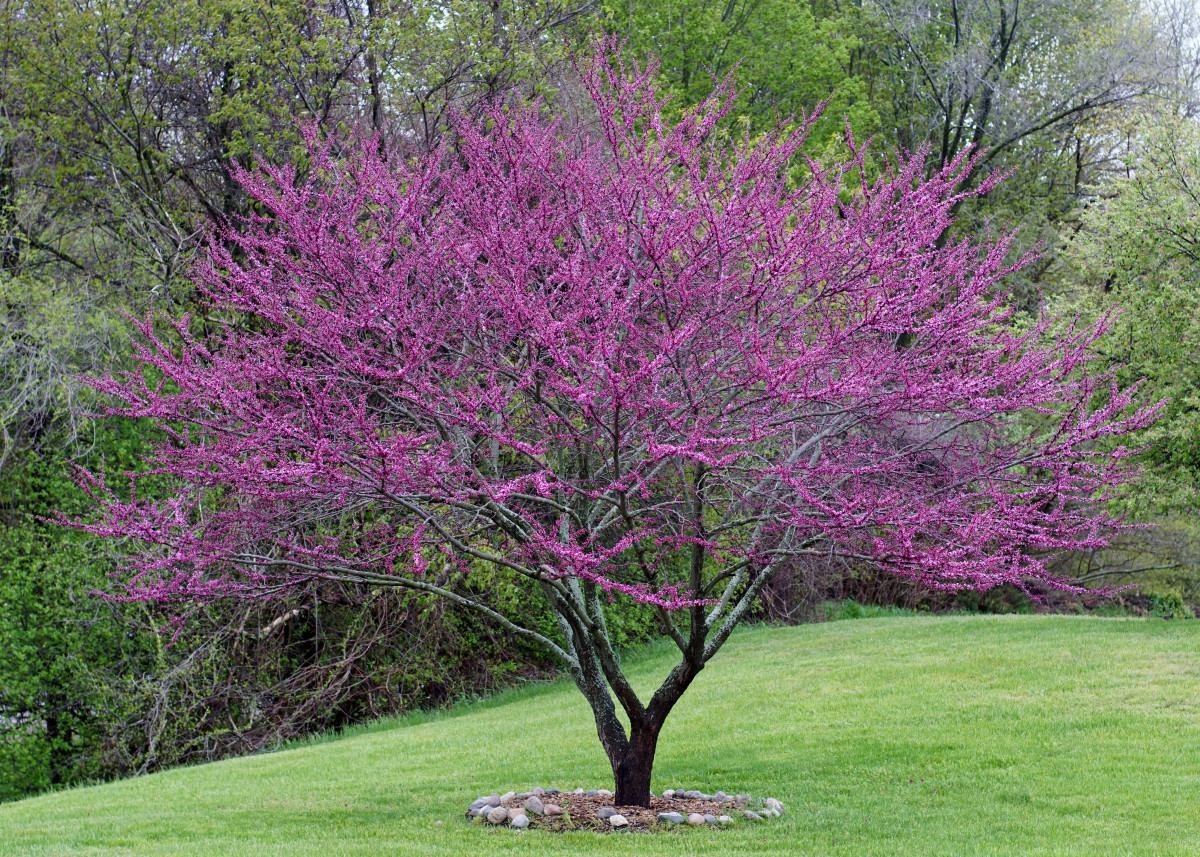 Redbud Tree Flower Buds