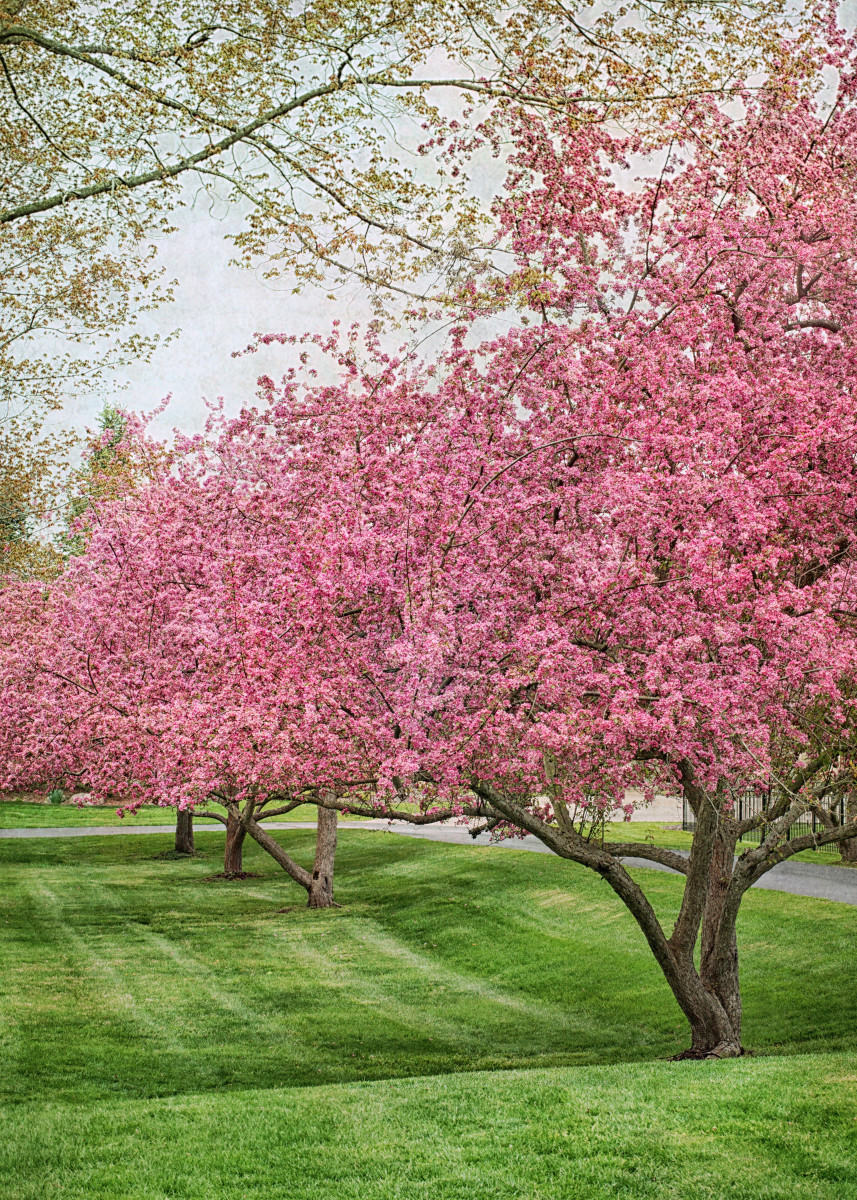 Ornamental Crabapple Tree