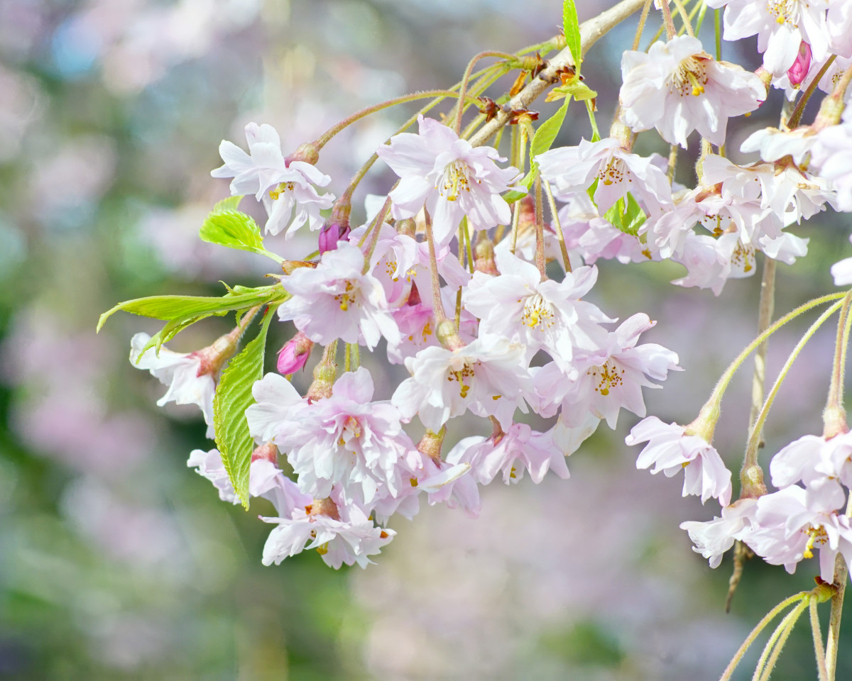 Weeping Cherry Tree Flower