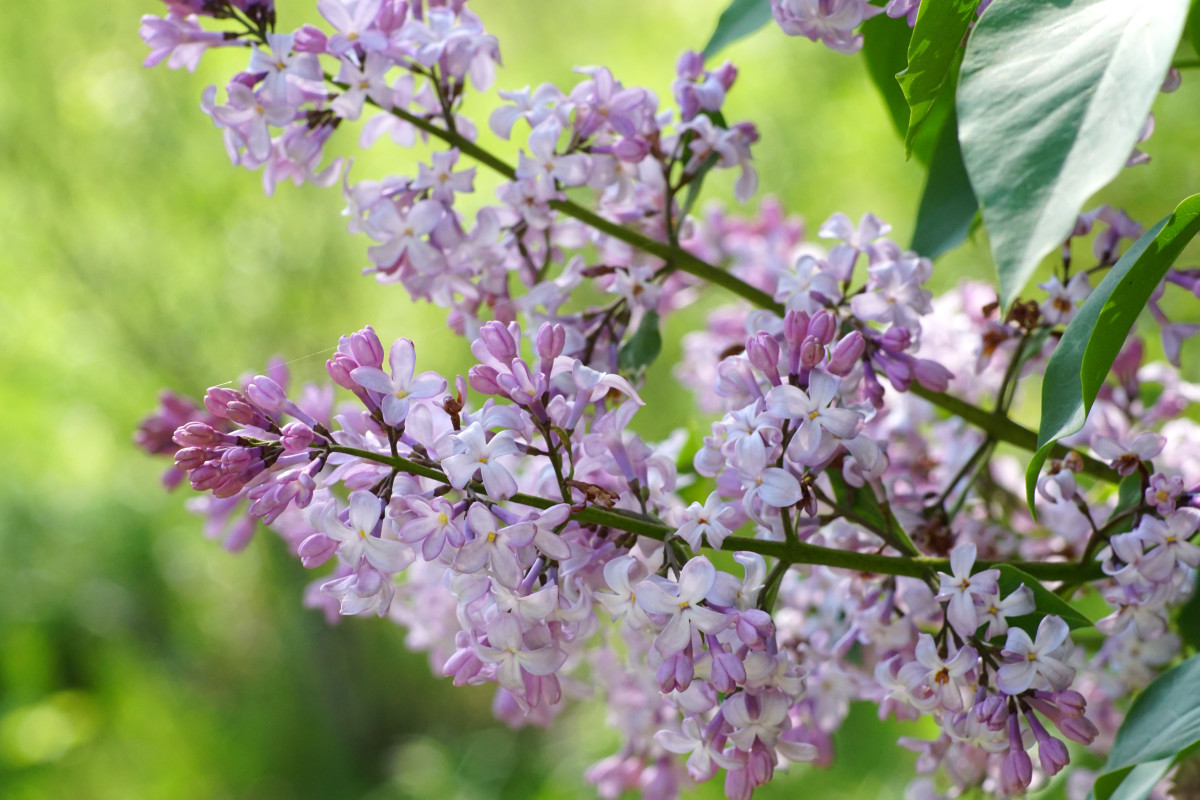 Lilac Shrub Branch