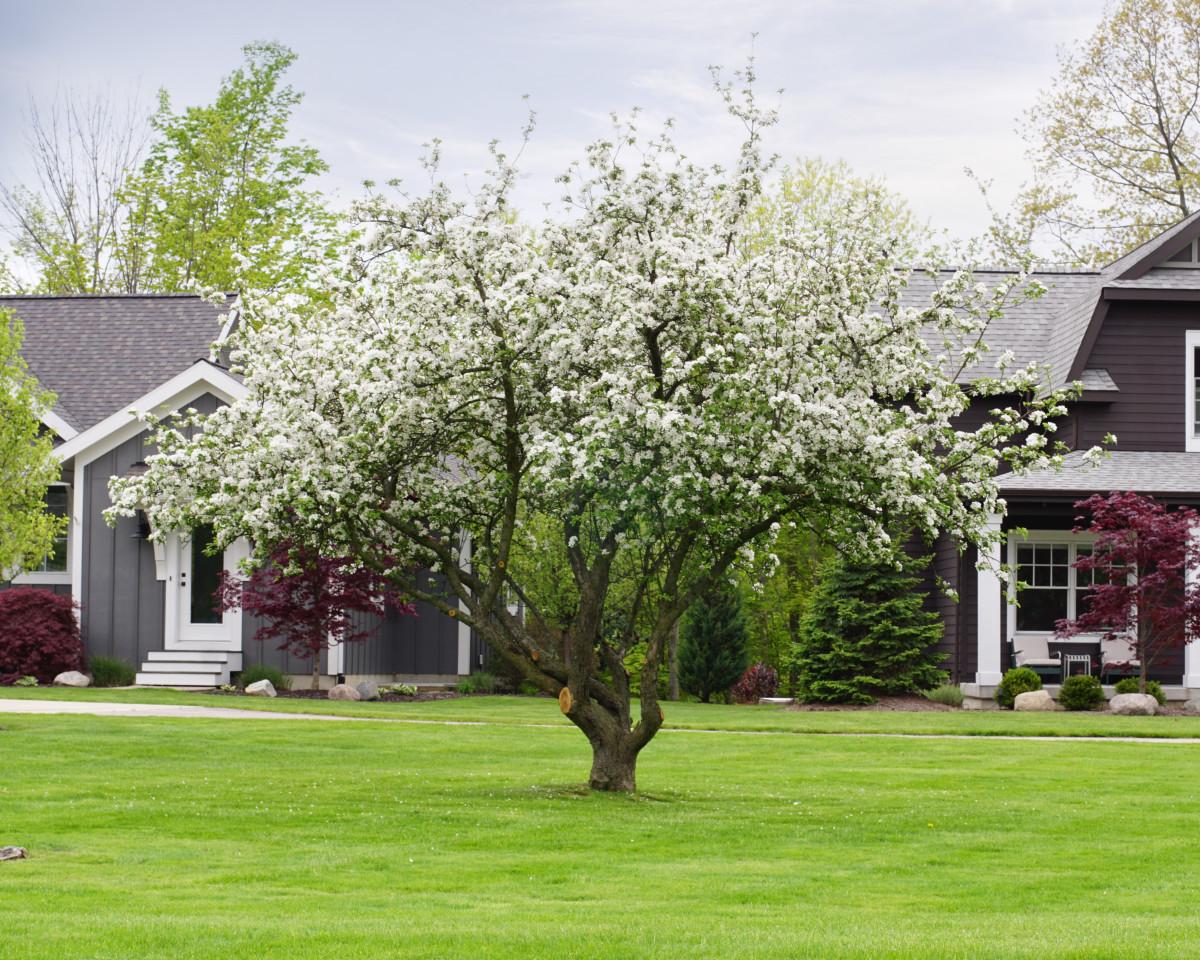 Apple Blossom Tree in Neighborhood Landscape