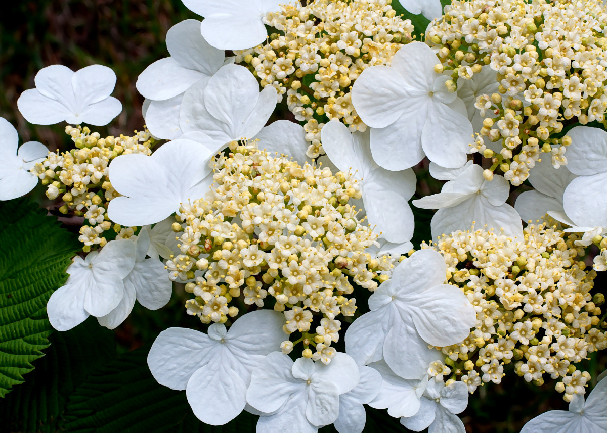 Viburnum 'Summer Snowflake' Flower