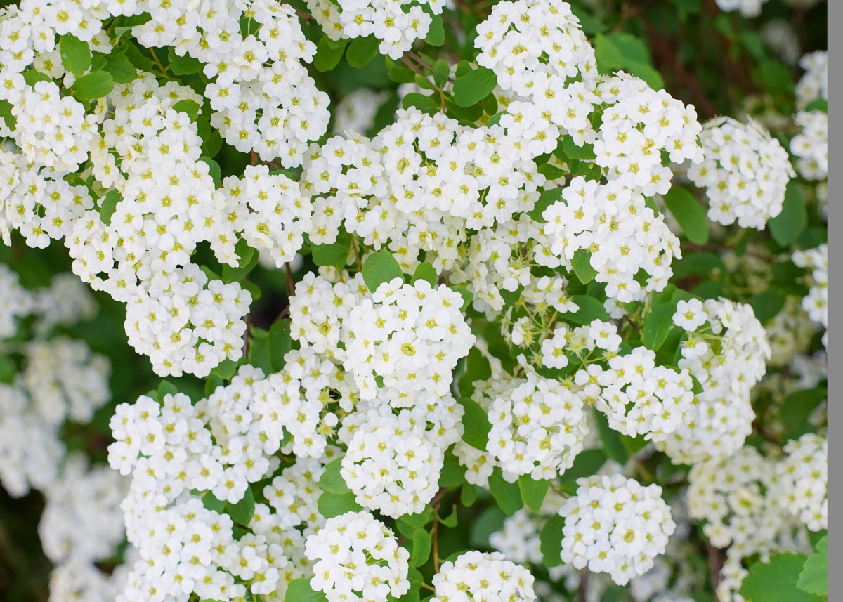 'Reeves Bridal' Spirea Shrub Flowers
