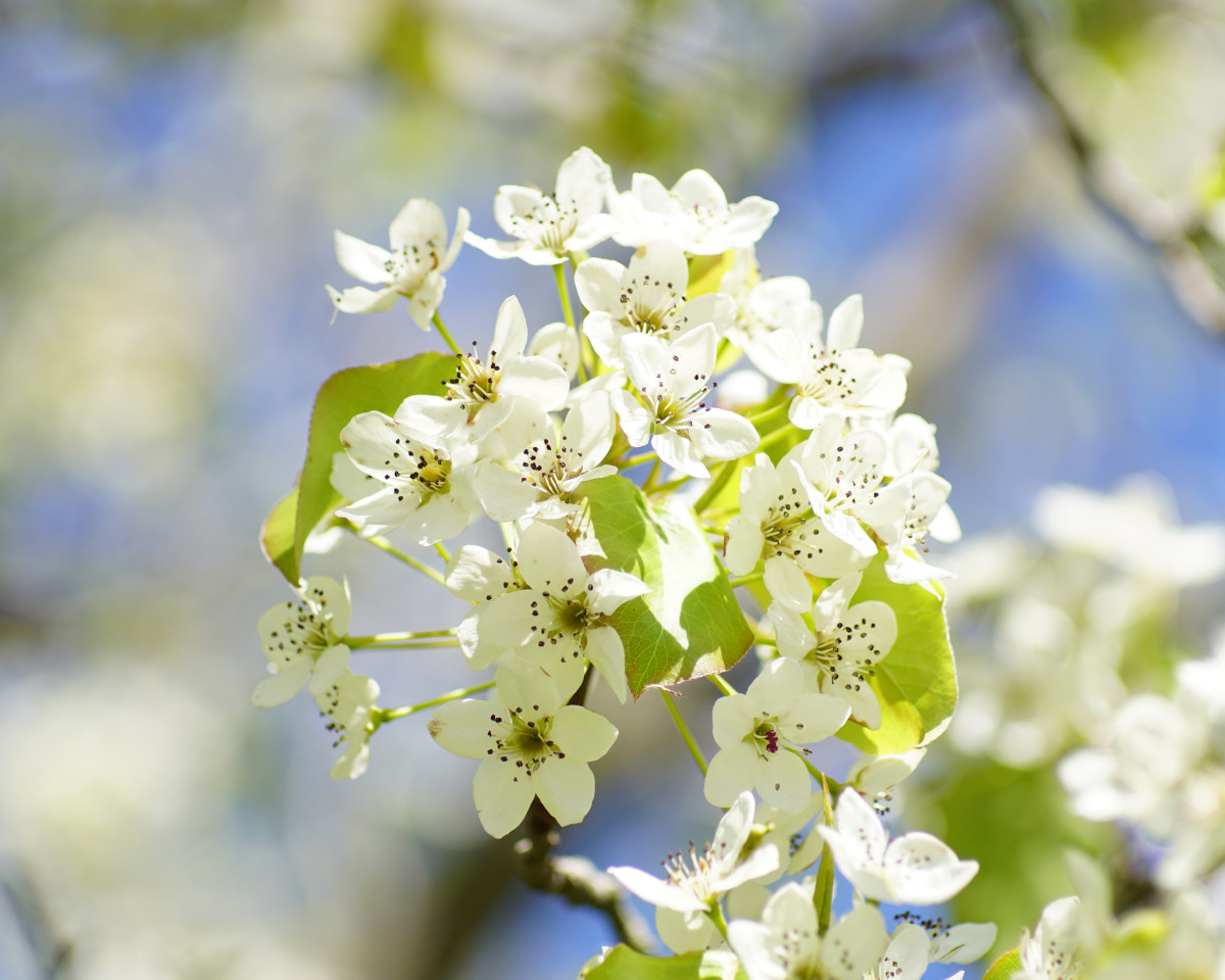 Ornamental Pear Tree Blossoms