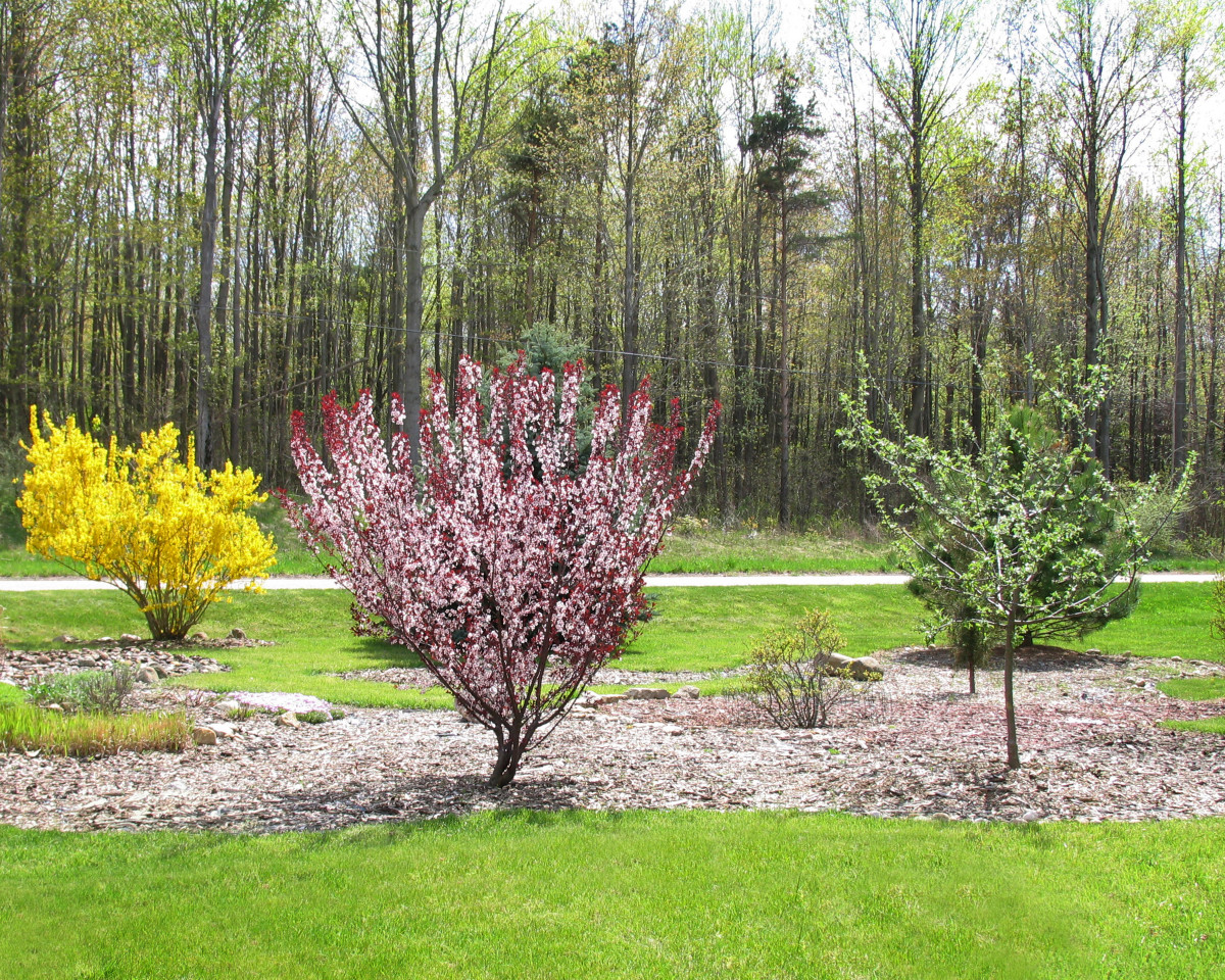 Purple Leaf Sand Cherry Tree