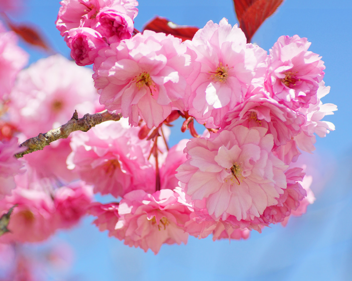 Japanese Kwanzan Cherry Tree Flowers