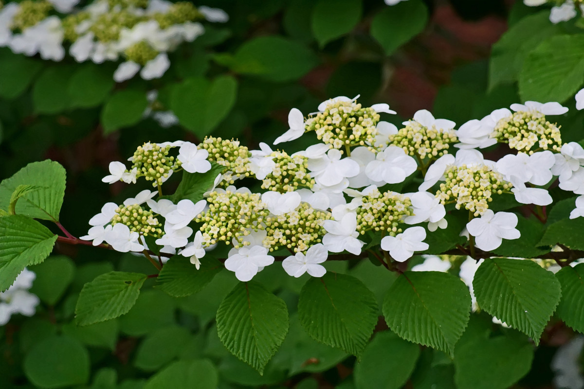 Viburnum 'Summer Snowflake' Branch