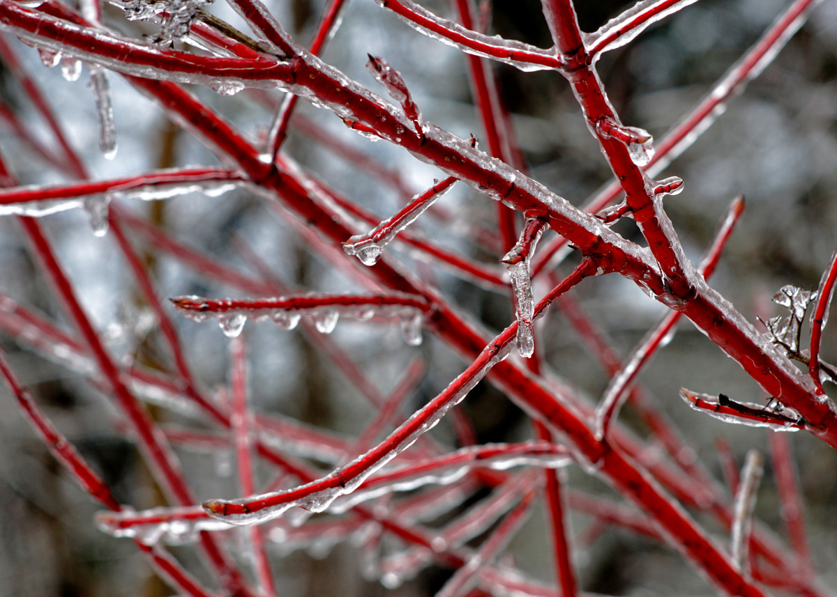Red Twig Dogwood Winter Branches