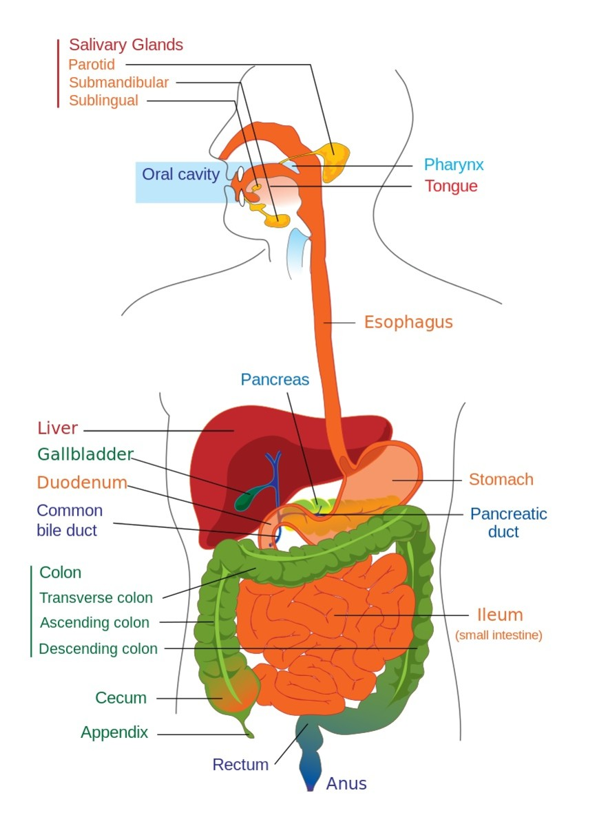 The colon (colored green in this diagram) is the longest section of the large intestine and is home to a huge bacterial population. The population sometimes includes Clostridium perfringens.