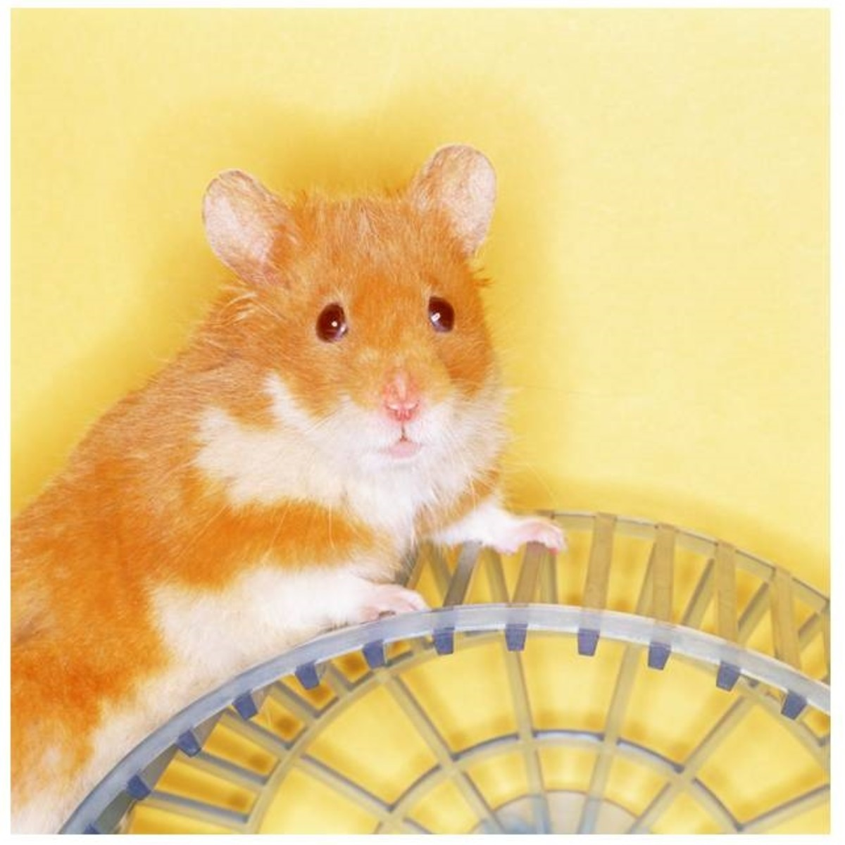 Hamsters are not recommended for classroom pets because they are nocturnal and will not be active during classroom hours.