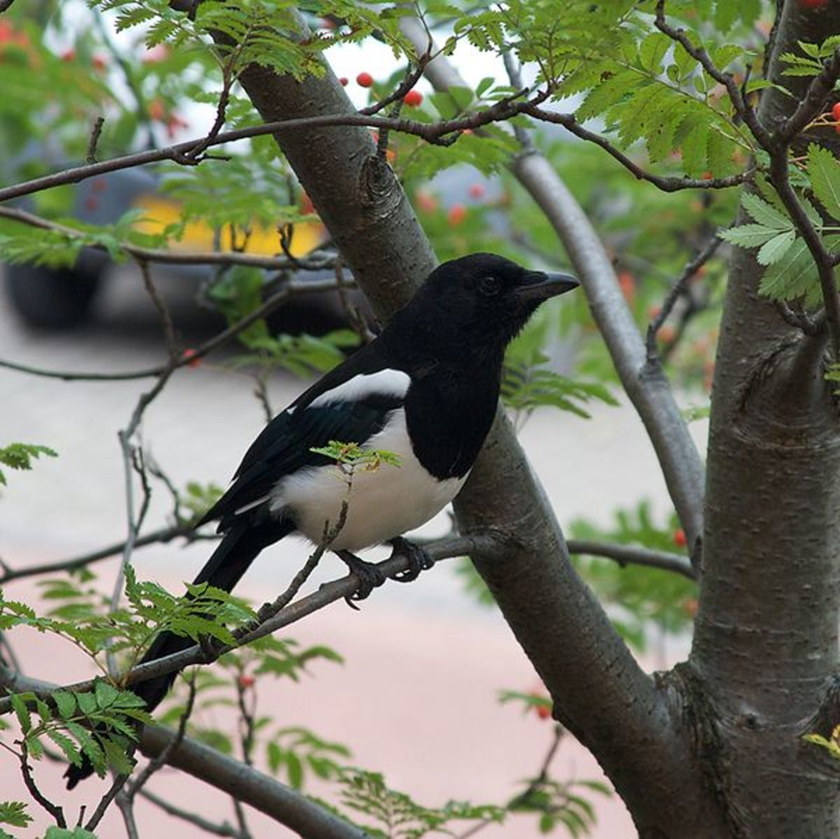 Magpies are perhaps the most visible of the many garden creatures which will take nestling birds.
