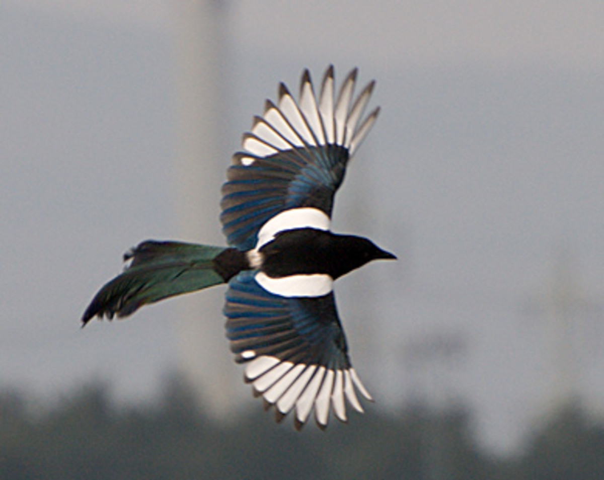Magpies are easy to identify in flight, chiefly by the white bands on its wings.