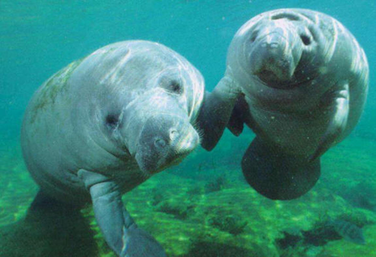 Two Manatees Posing for the Camera - Beautiful Sea Creatures that are Endangered