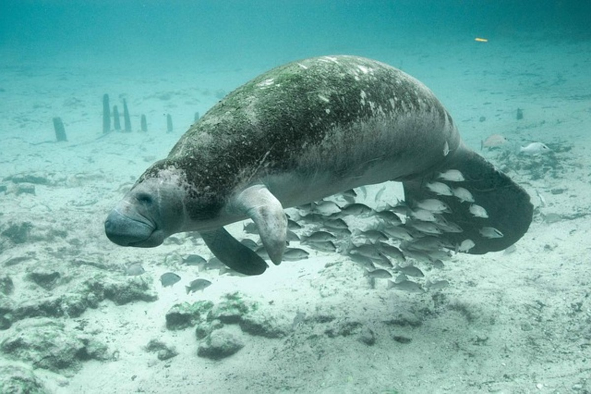 dugongs and manatees are beautiful