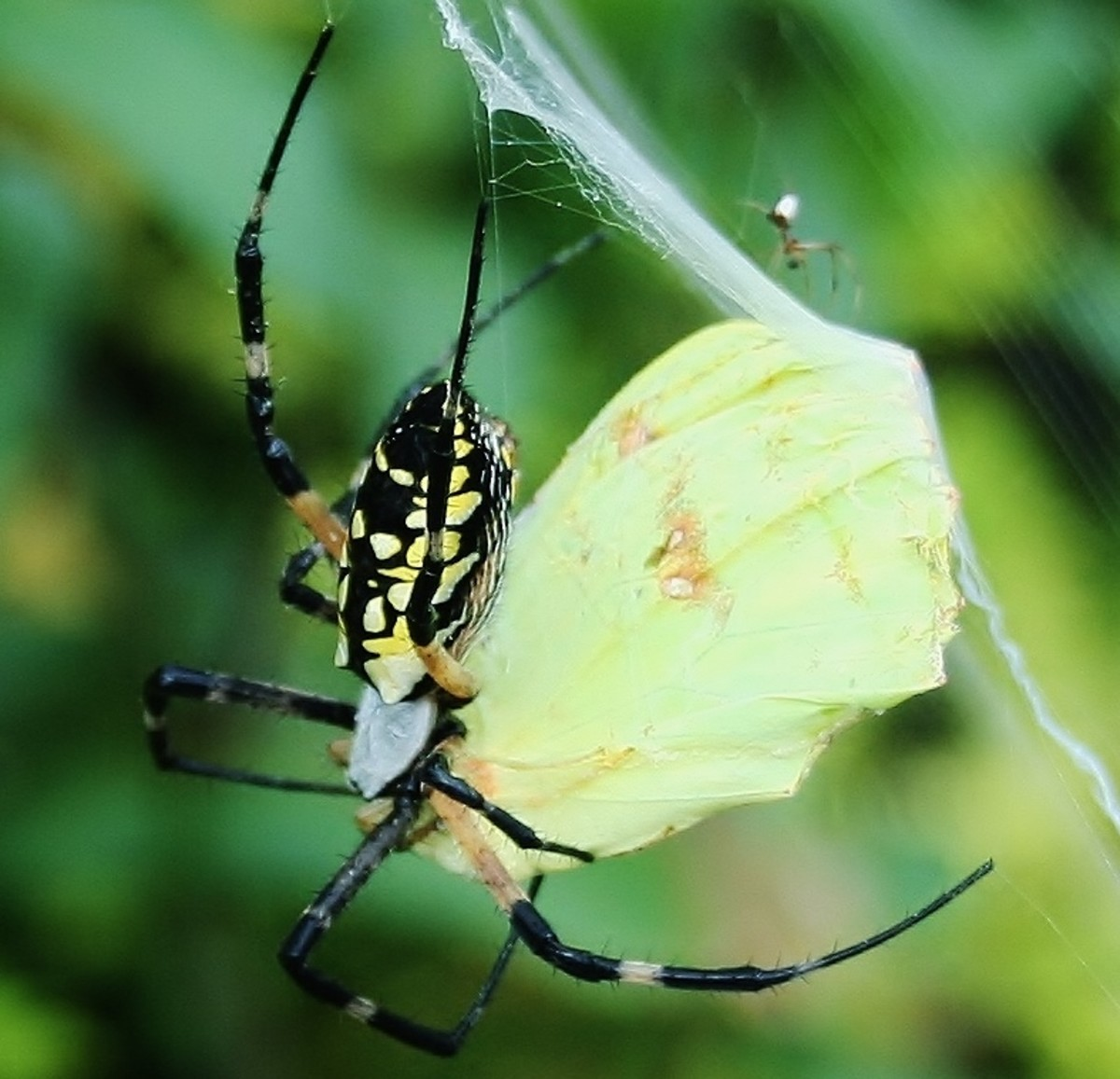 A yellow garden spider prepping a moth for dinner.