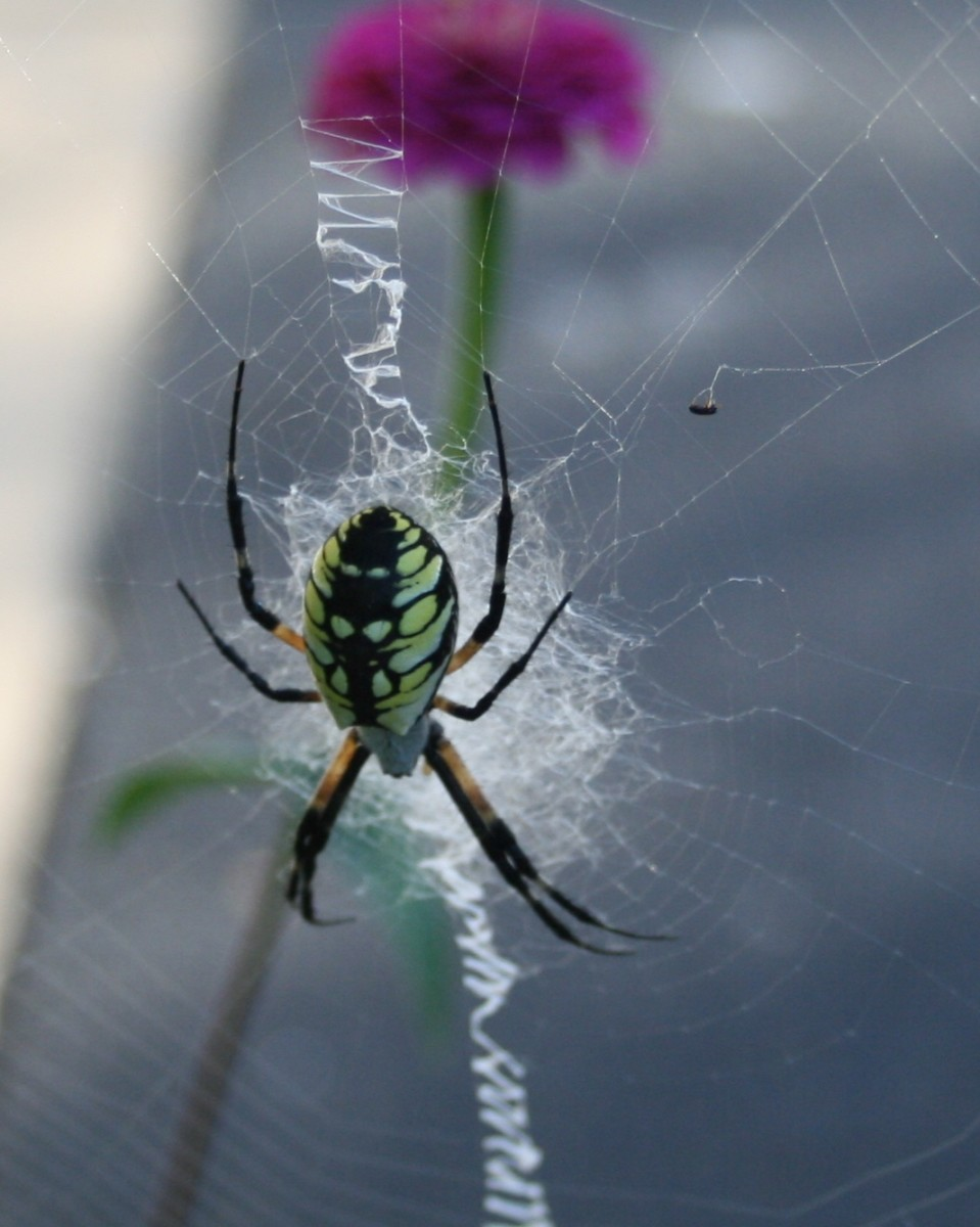The zigzagging line in a yellow garden spider's web is called a stabilimentum.