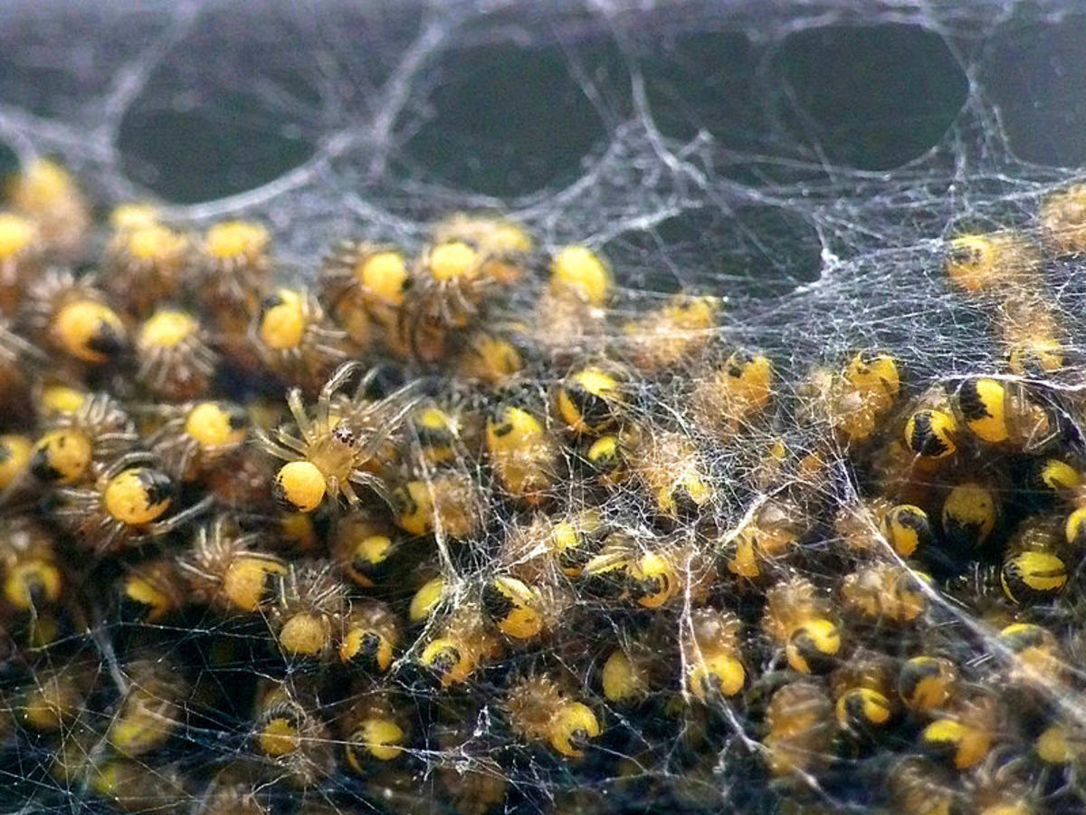 A yellow garden spider's egg sac can hatch over 1,000 spiderlings.