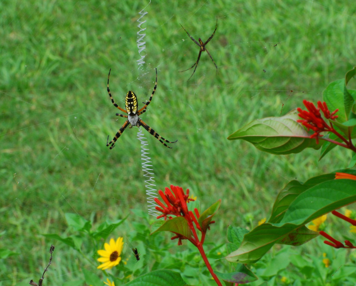 Female and male Argiope aurantia