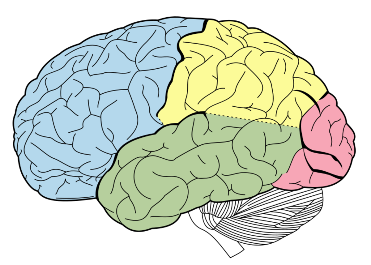 The five colored lobes are the cerebrum; the linear section below it is the cerebellum, and the little tube (attached and descending) is the brain stem.