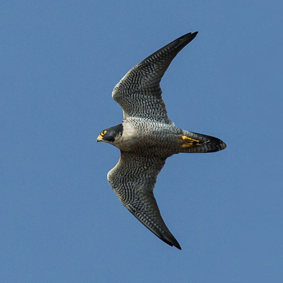 Peregrines are actually rather sluggish in level flight, especially compared to pigeons and ducks, hence why the stoop evolved into an effective hunting strategy.