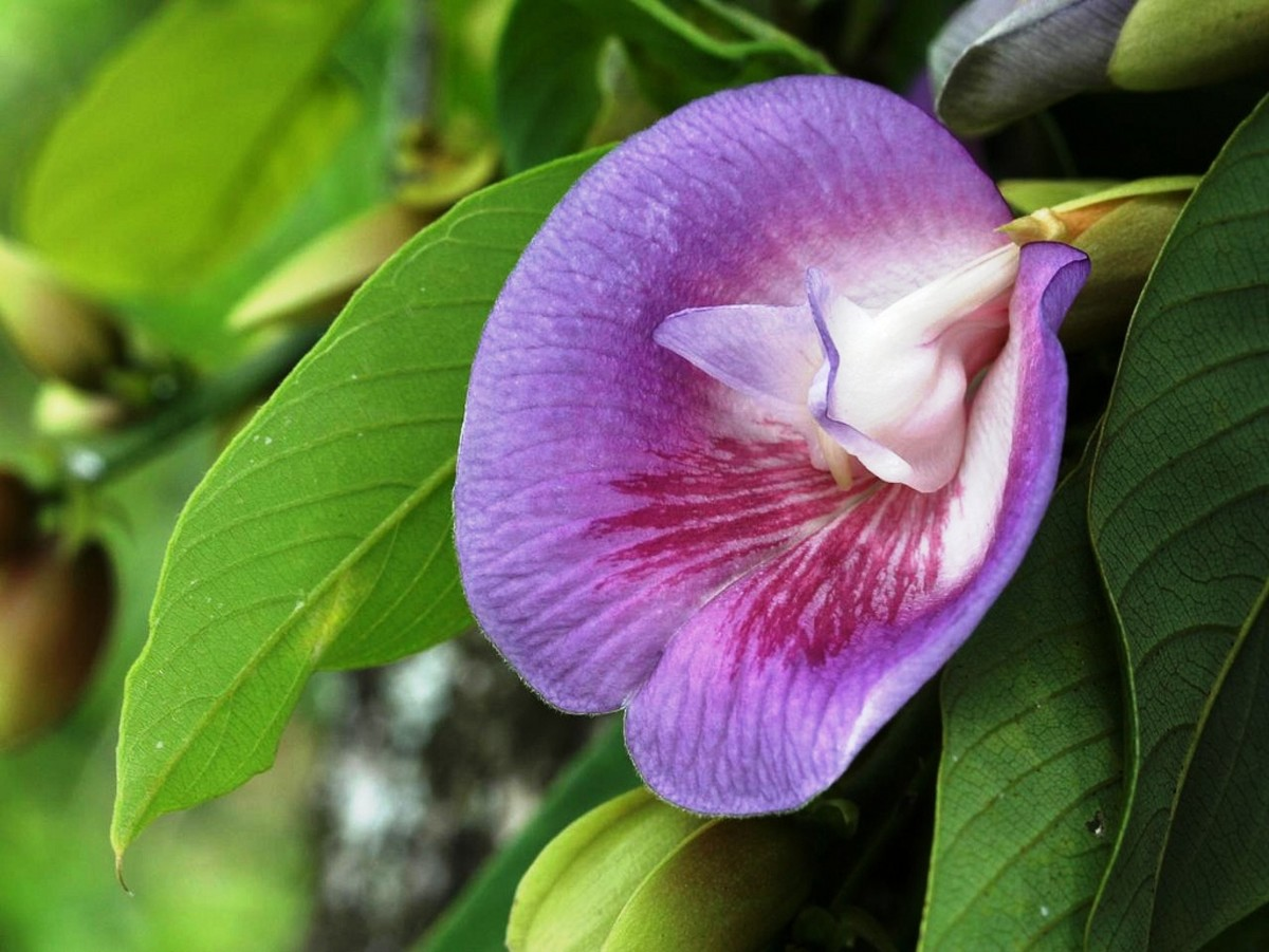 Modern medicine has found value in the Butterfly Pea plant for its anti-inflammatory, fever reducing, analgesic, tranquilizing, and immunomodulatory properties.