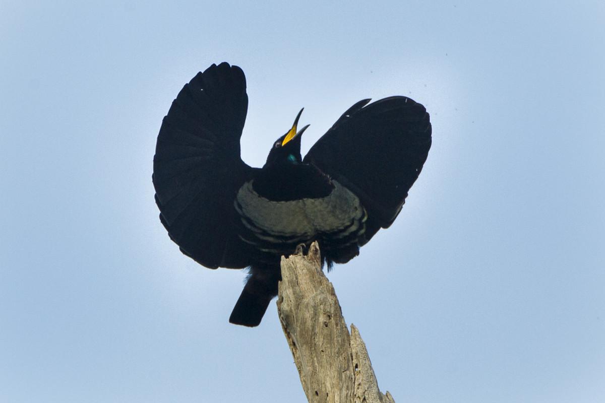 Ptiloris victoriae