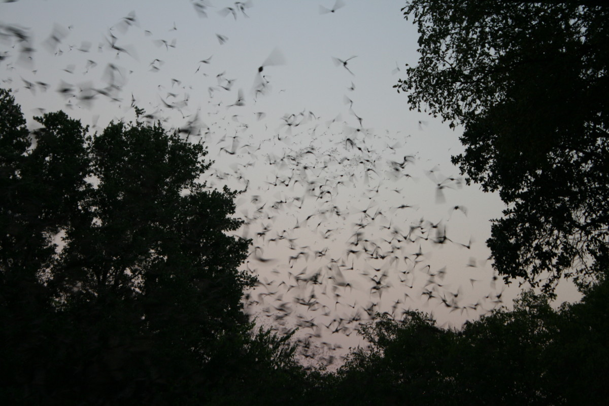 Bat emergence at Old Tunnel State Park near Fredricksburg, Tx, for my birthday 2012.
