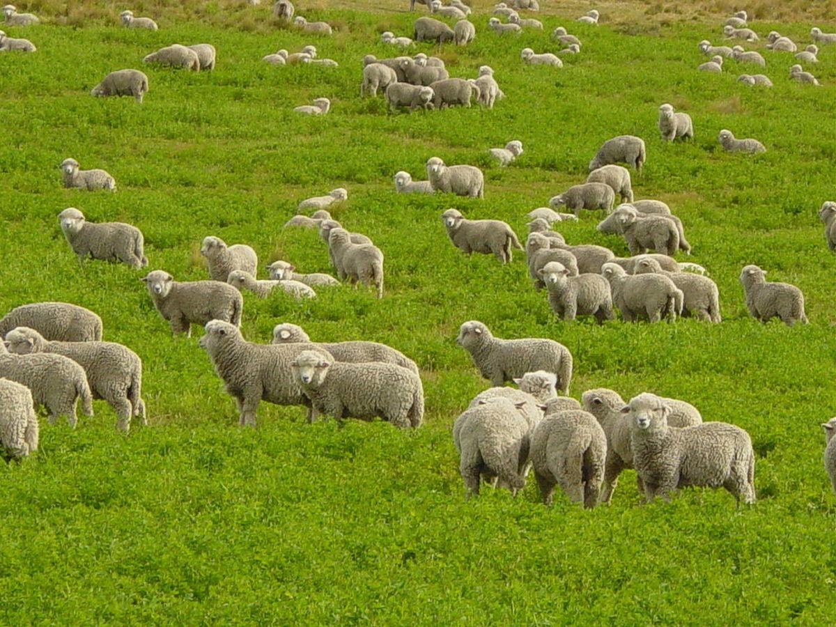 Corriedale lambs