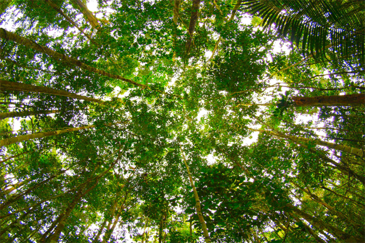 The Amazon canopy; a lush sea of green that goes on and on, concealing a thriving ecosystem.