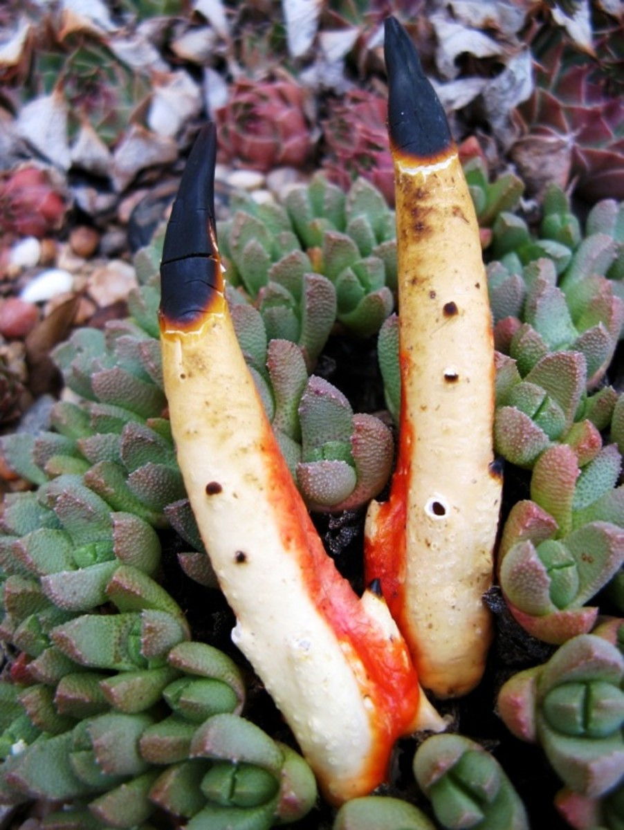 The Devil's Fingers fungus is also known as Octopus Stinkhorn.  It comes in both red and white varieties.  The fungus is indigenous to Australia and Tasmania.