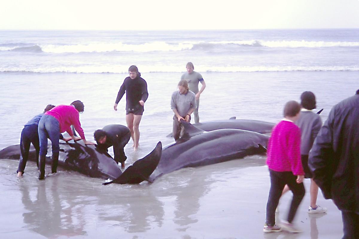 A false killer whale stranding in Flinders Bay, Australia
