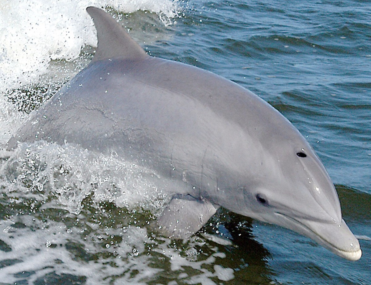 Bottlenose dolphins often swim with false killer whales and have interbred with them in captivity. These dolphins have a long beak, or rostrum.
