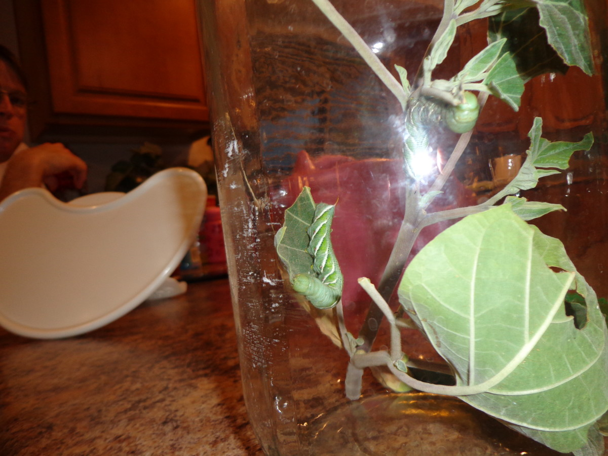 The hornworm (caterpillar) is on the leaf to the left of the inside of the jar.