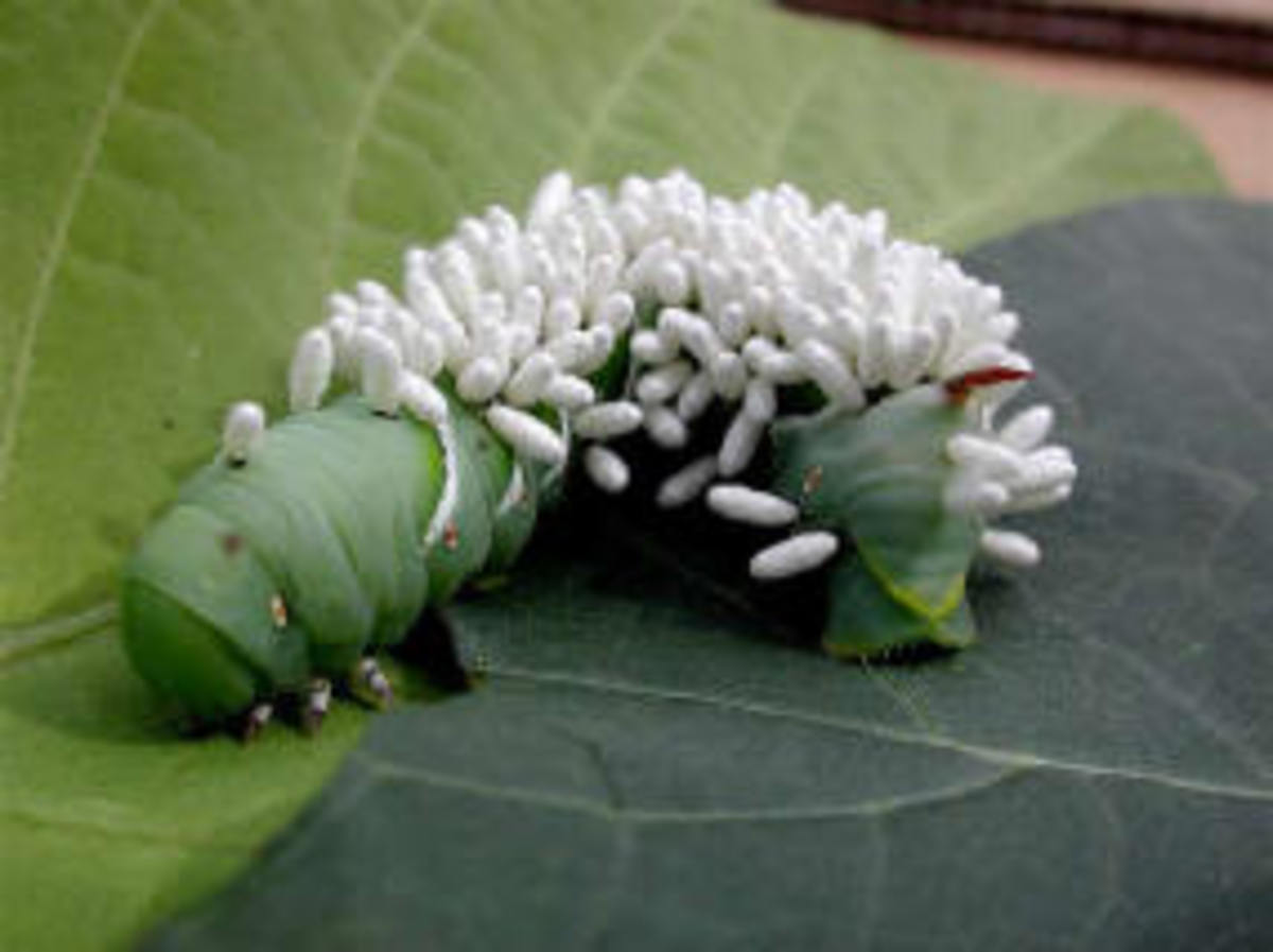 Hornworm with Braconid Wasp's larvae torturing him.