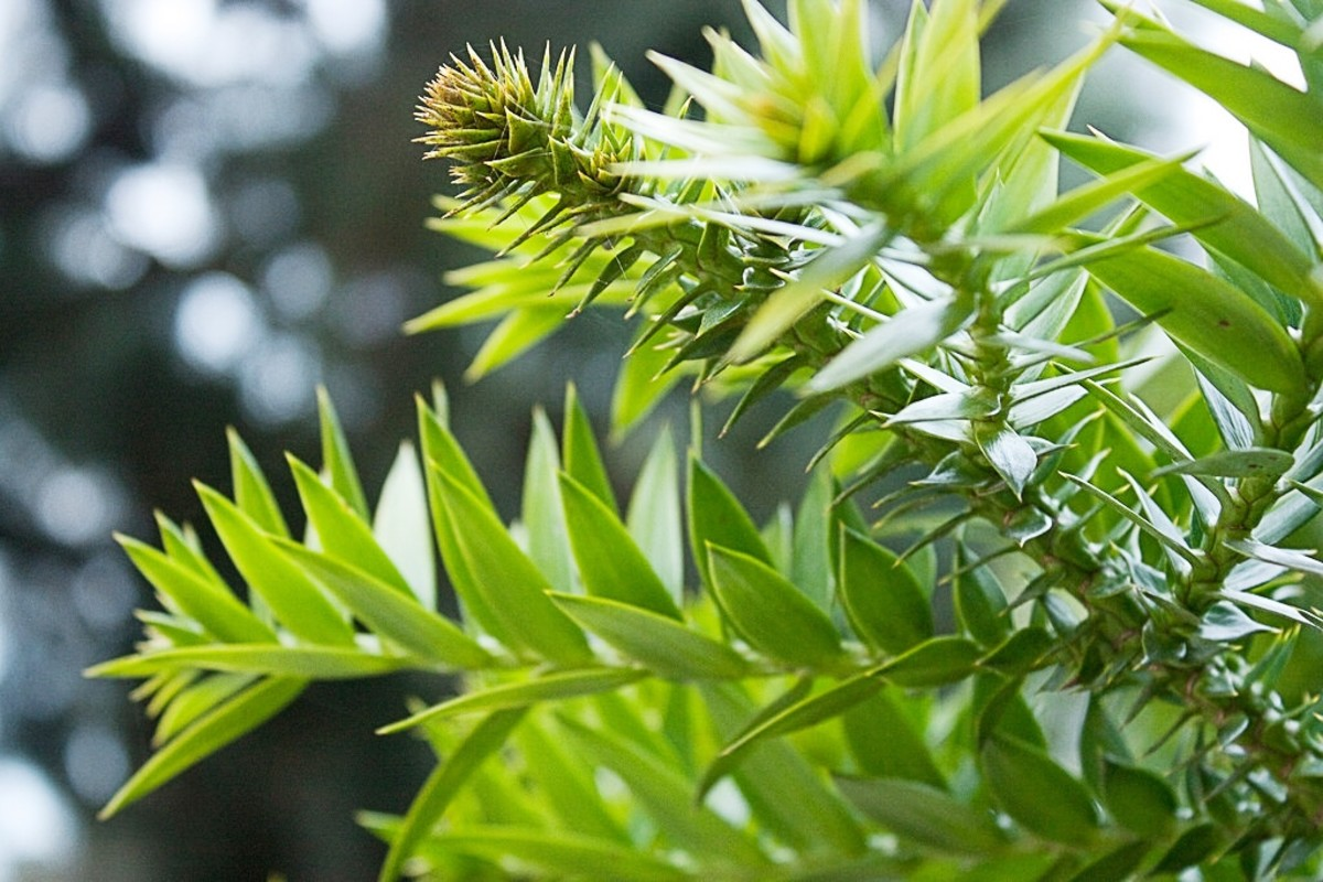A close-up view of a bunya pine
