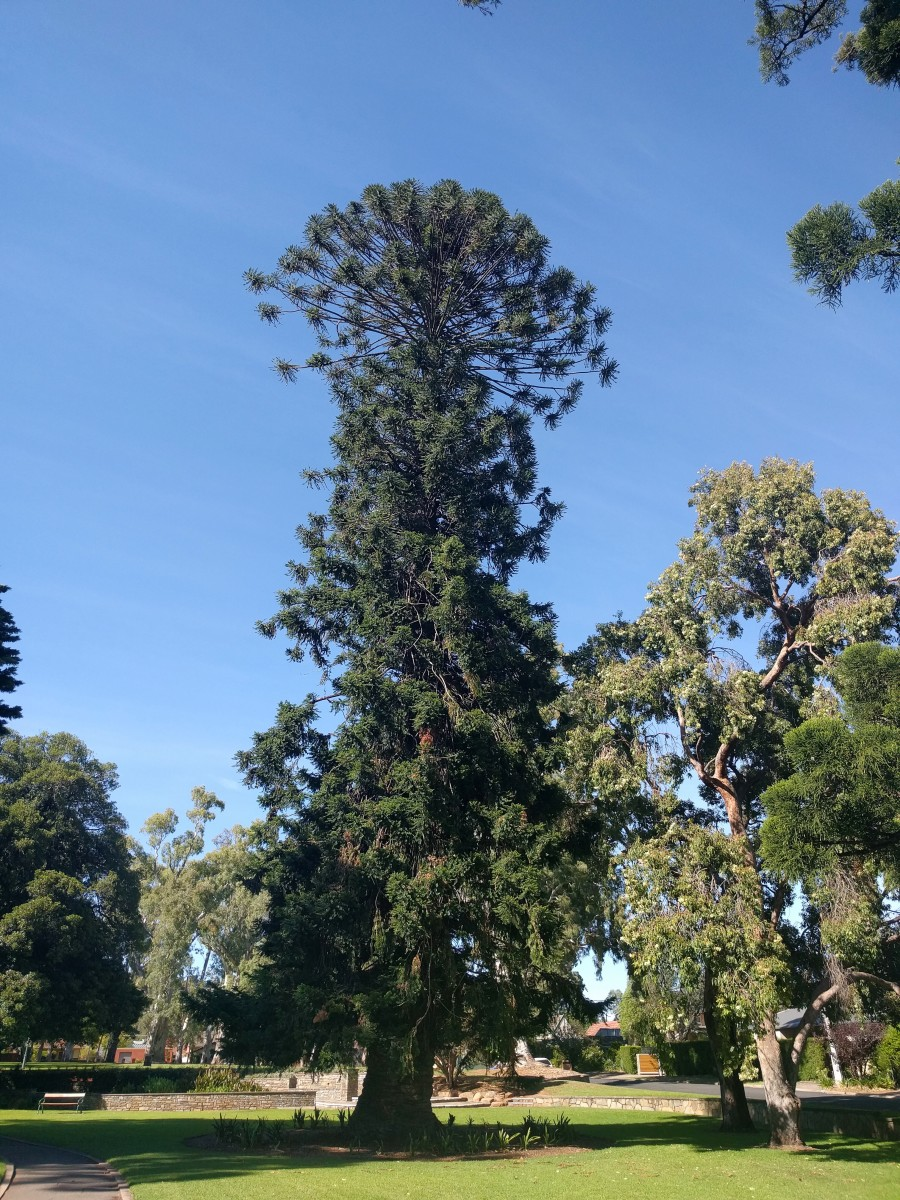 The two-tiered appearance of a bunya pine tree