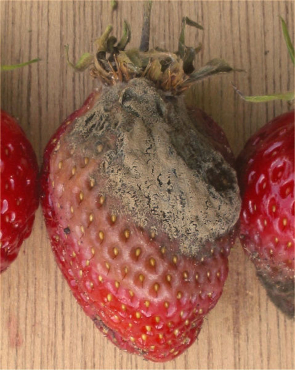 The Grey mold or Botrytis cinerea infection on Strawberry.