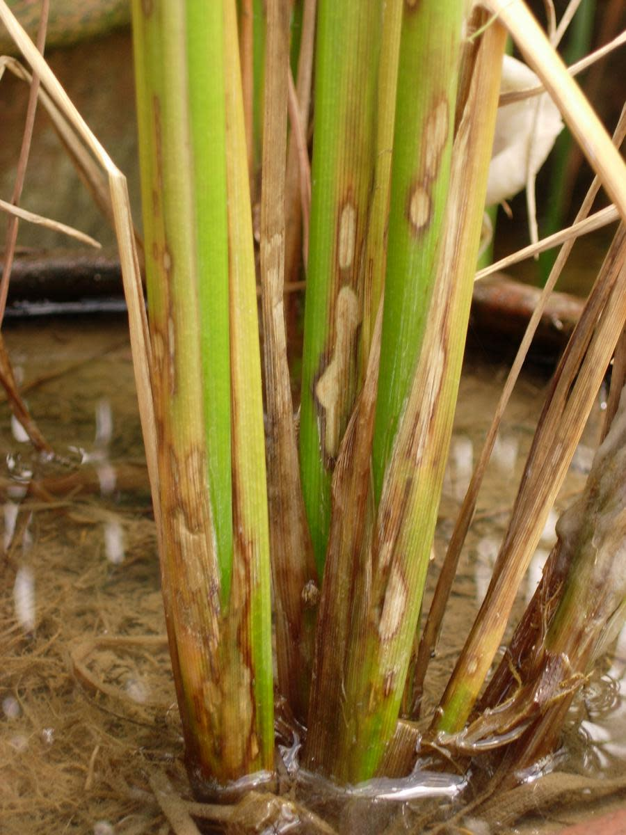 Sheath Blight in Rice